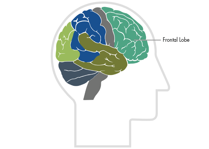 Your Brain Is Particularly Vulnerable >> Frontal Lobes